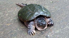 Turtle-in-RoadSm
